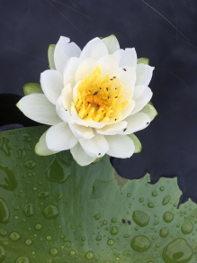 Glide-by water lily pic