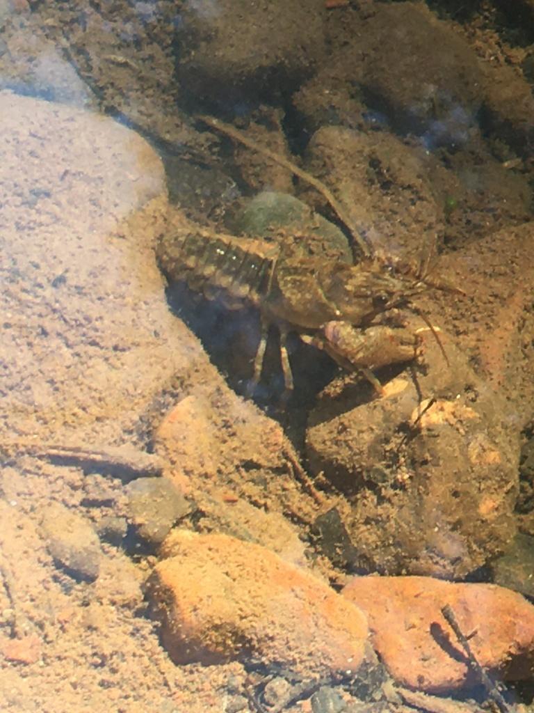 Crayfish hiding in rocks under the water.