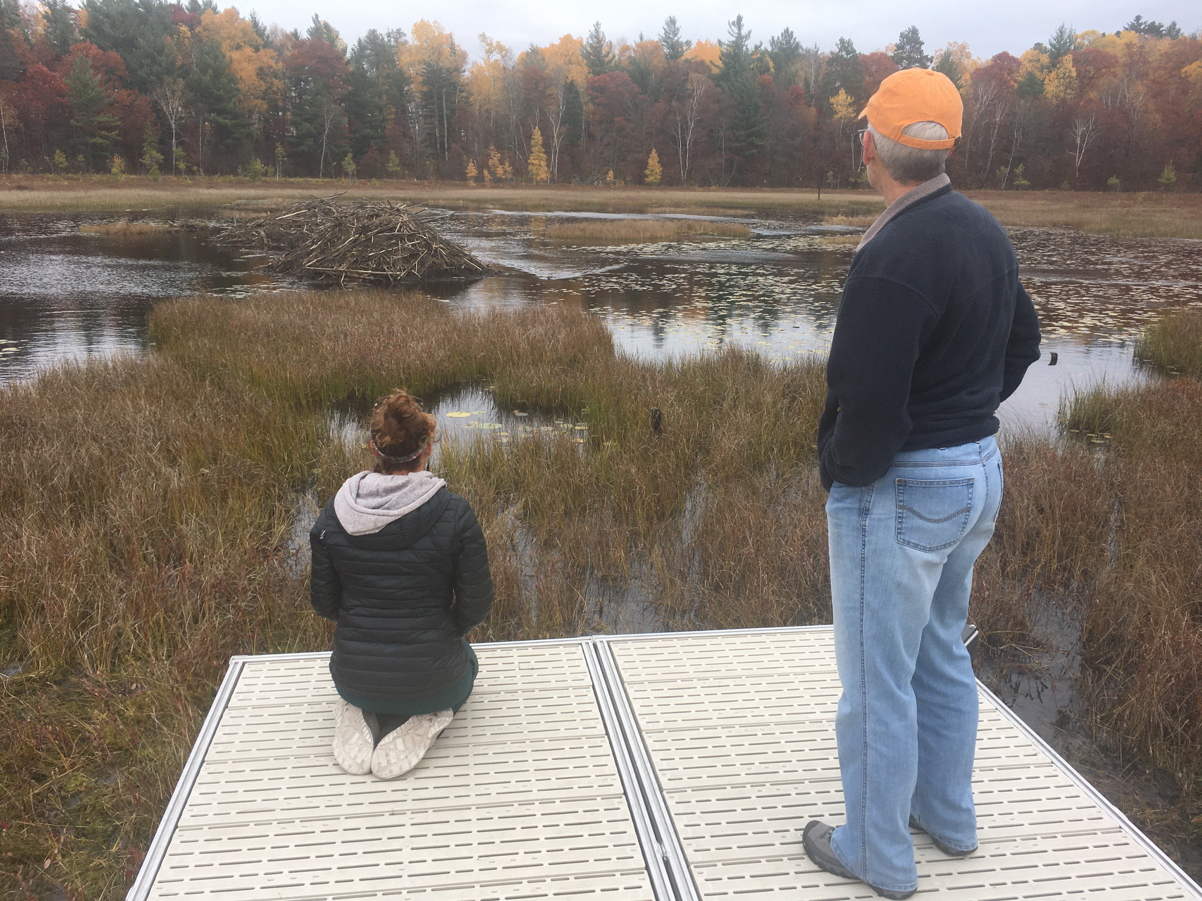 Two people watching a beaver swim in a bog.