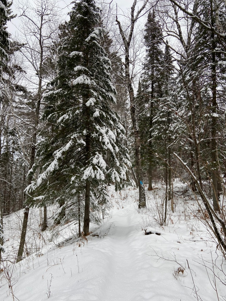 a well traveled trail through snowy pines