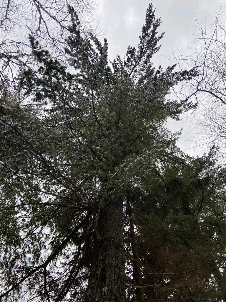 looking up into the branches of a large pine