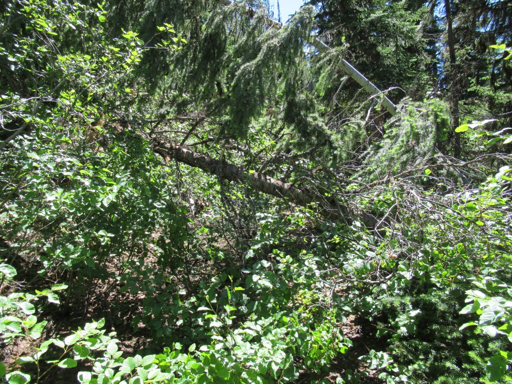 A trail blocked by downed trees and brush